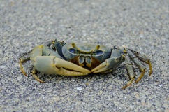 Blue Crab Scuttles Across Pavement. A curious blue crab scurries across the pavement in a park in the Florida Keys royalty free stock photography