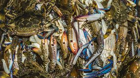Blue crab swimmer. Fresh raw blue crab swimmer in fresh market for sell. seafood background Stock Images