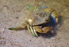 Blue Crab at Water's Edge stock images