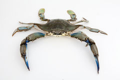 Blue crab on white background Royalty Free Stock Photo