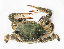 Blue crab white background Stock Photography