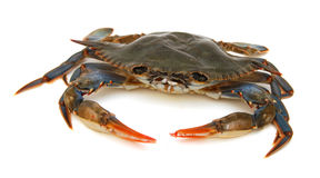 Blue Crab. With white background Royalty Free Stock Image