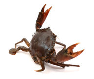 Blue Crab. With white background Royalty Free Stock Images