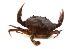 Blue Crab. With white background Stock Image