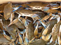 Blue Crabs. Freshly caught bucket of Blue Crabs Stock Photography
