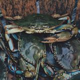 Blue crabs Stock Photos