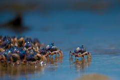 Blue Crabs at the beach royalty free stock photography