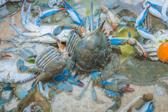 Blue Crabs cakes. Blue crabs for sale at a local seafood market soon to be crab cakes Stock Photos