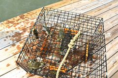 Blue crabs caught in a crab pot on the Chesapeake Bay in Virginia stock image