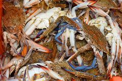 Blue crabs at the fish market. Fresh blue crabs at the fish market in Acre  Akko , Israel royalty free stock image
