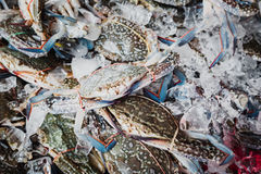 Blue crabs on ice Stock Images