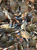 Blue Crabs Royalty Free Stock Image