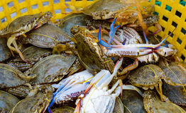 Blue Crabs in Kep. Blue Crabs stored in a live box for selling. The city of Kep Cambodia is famous for these crabs Stock Photo