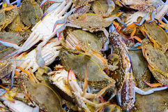 Blue Crabs in Kep. Blue Crabs stored in a live box for selling. The city of Kep Cambodia is famous for these crabs Royalty Free Stock Photos