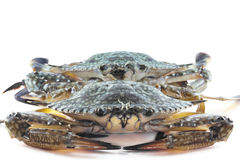 Blue crabs in the ocean. Fresh blue crabs from the ocean Stock Photography