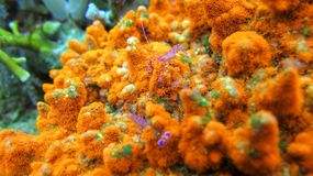 Blue crabs on orange hard coral. Bubble Crab and Bright Orange Sea Coral. Sea animal. Ocean life full of sea animals. Brightly colored coral bedrock stock image