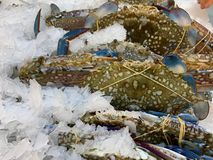 Blue crabs paste on the pounded ice. royalty free stock image