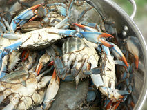 Blue crabs in pot. Photo of live blue crabs in a pot from the Chesapeake Bay of Maryland royalty free stock images
