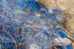 Blue crabs  trapped in fishnet Royalty Free Stock Photos