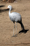 Blue Crane. The national bird of South Africa, taken in a zoo Stock Image