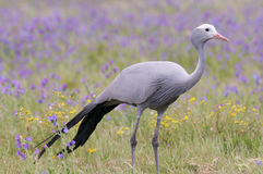 Blue Crane. National South African bird in spring flower field Stock Photography