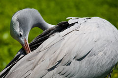 Blue Crane. Blue Crae or Anthropoides paradiseus is also known as the Paradise Crane royalty free stock photo