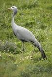 Blue crane stock photography