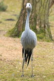 Blue crane Royalty Free Stock Photos