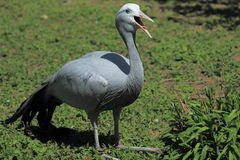 Blue crane Stock Photos