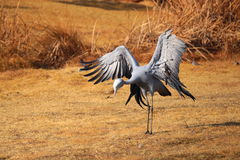 Blue Crane Royalty Free Stock Photo