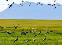 Blue Crane Royalty Free Stock Images