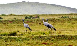 Blue Crane Royalty Free Stock Image
