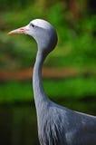 Blue crane Stock Image