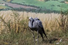 Blue crane - Anthropoides paradiseus african bird stock photo