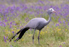 Blue Crane Bird. South African Blue Crane bird in spring flower meadow Royalty Free Stock Images