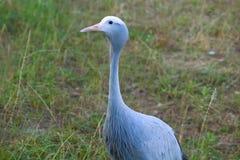 Blue Crane Bird Up Close Royalty Free Stock Image