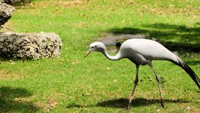 Blue Crane Bird walking Royalty Free Stock Image