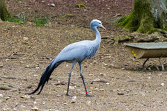 The blue crane royalty free stock photography