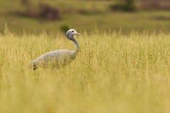 Blue Crane Grus paradisea Stock Photo