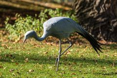 The Blue Crane, Grus paradisea, is an endangered bird stock photos