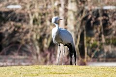 The Blue Crane, Grus paradisea, is an endangered bird royalty free stock image