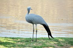 Blue crane by a pond. Blue crane - Grus paradisea - by a pond in Sun City, South Africa stock images