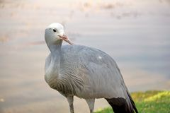 Blue crane by a pond. Blue crane - Grus paradisea - by a pond in Sun City, South Africa royalty free stock image