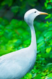 Blue crane in a nature. A blue crane in a nature Royalty Free Stock Photography