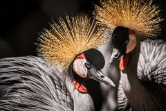 African Crowned Crane. Blue Crane Pair - South Africa's National Birds Stock Photo