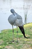 Blue crane by a pond. Blue crane - Grus paradisea - by a pond in Sun City, South Africa royalty free stock images