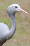 Blue crane portrait Stock Image