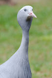 Blue crane portrait Stock Photography