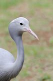 Blue crane portrait Royalty Free Stock Images