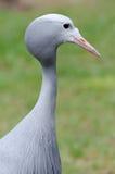 Blue crane portrait Stock Image